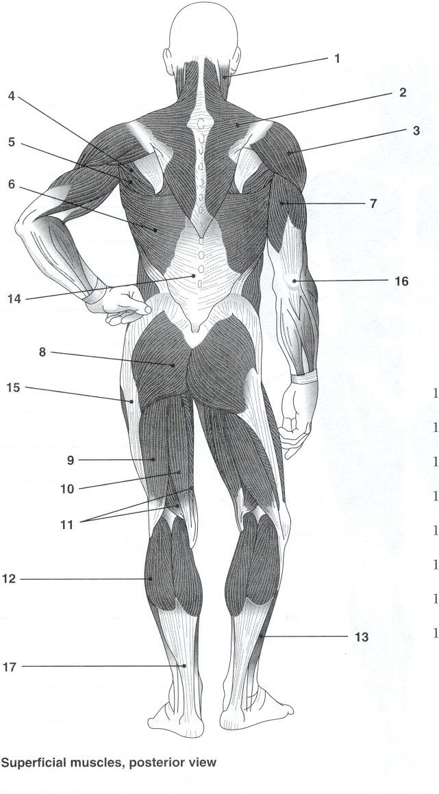 Arm Muscles Dorsal View Unlabeled Diagram Print Manual Guide