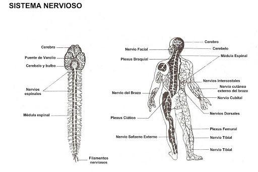 None Jpg 512 341 Pixeles Sistema Nervioso Para Colorear Sistema Nervioso Nervioso