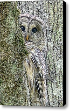 Barred Owl Peek A Boo Canvas Print Canvas Art By Jennie Marie Schell In 2021 Owl Photography Owl Pictures Funny Owls
