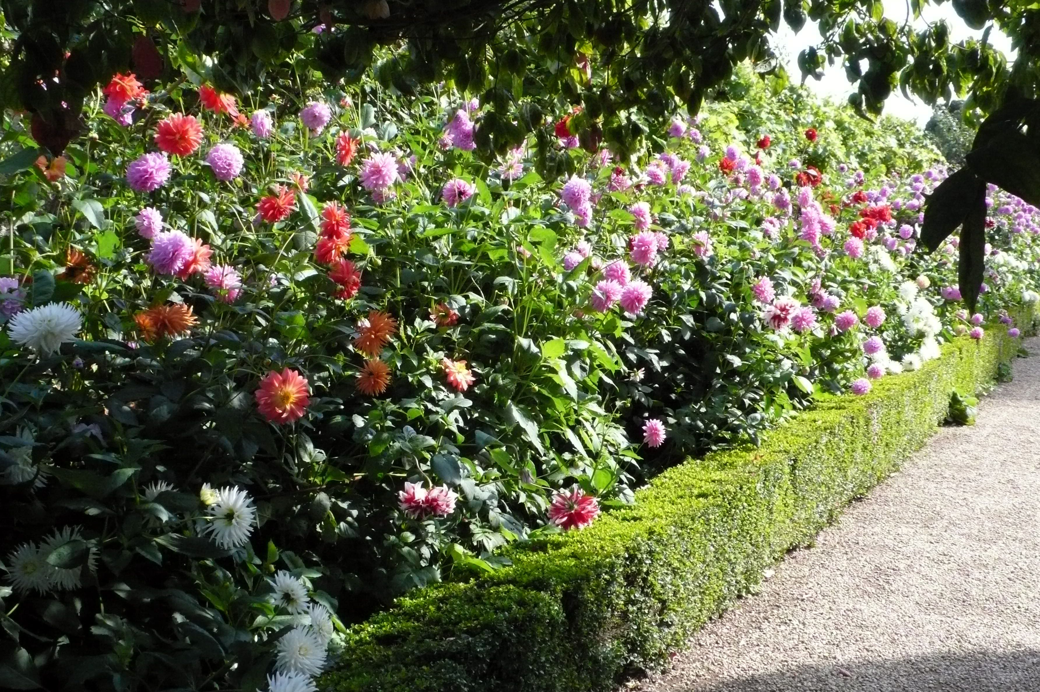 Dahlia Garden Plans | Even In Late September This Rose Was Covered In  Blooms And Looked