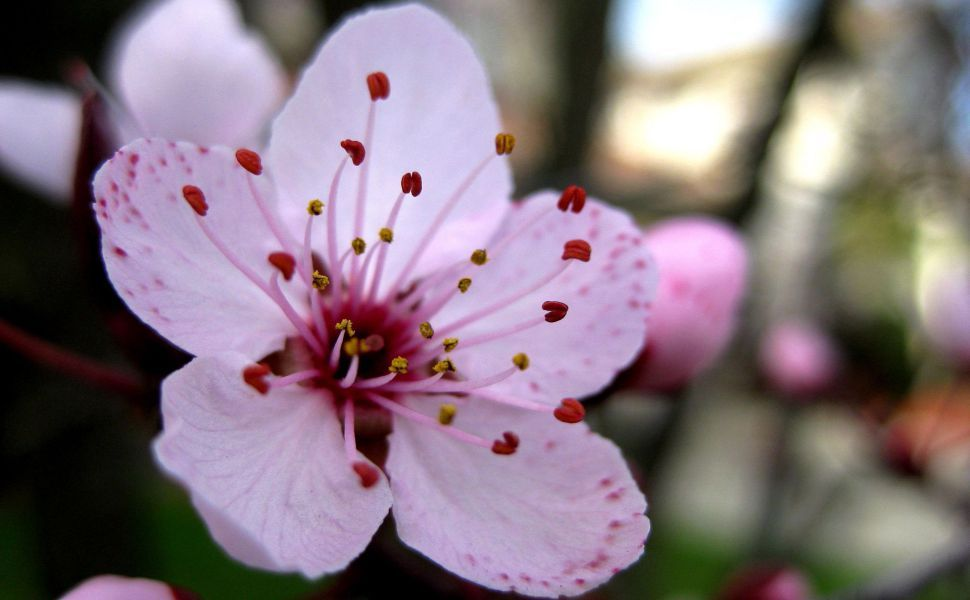 Pink Cherry Blossoms Up Close Cherry Blooms Cherry Flower Beautiful Flowers
