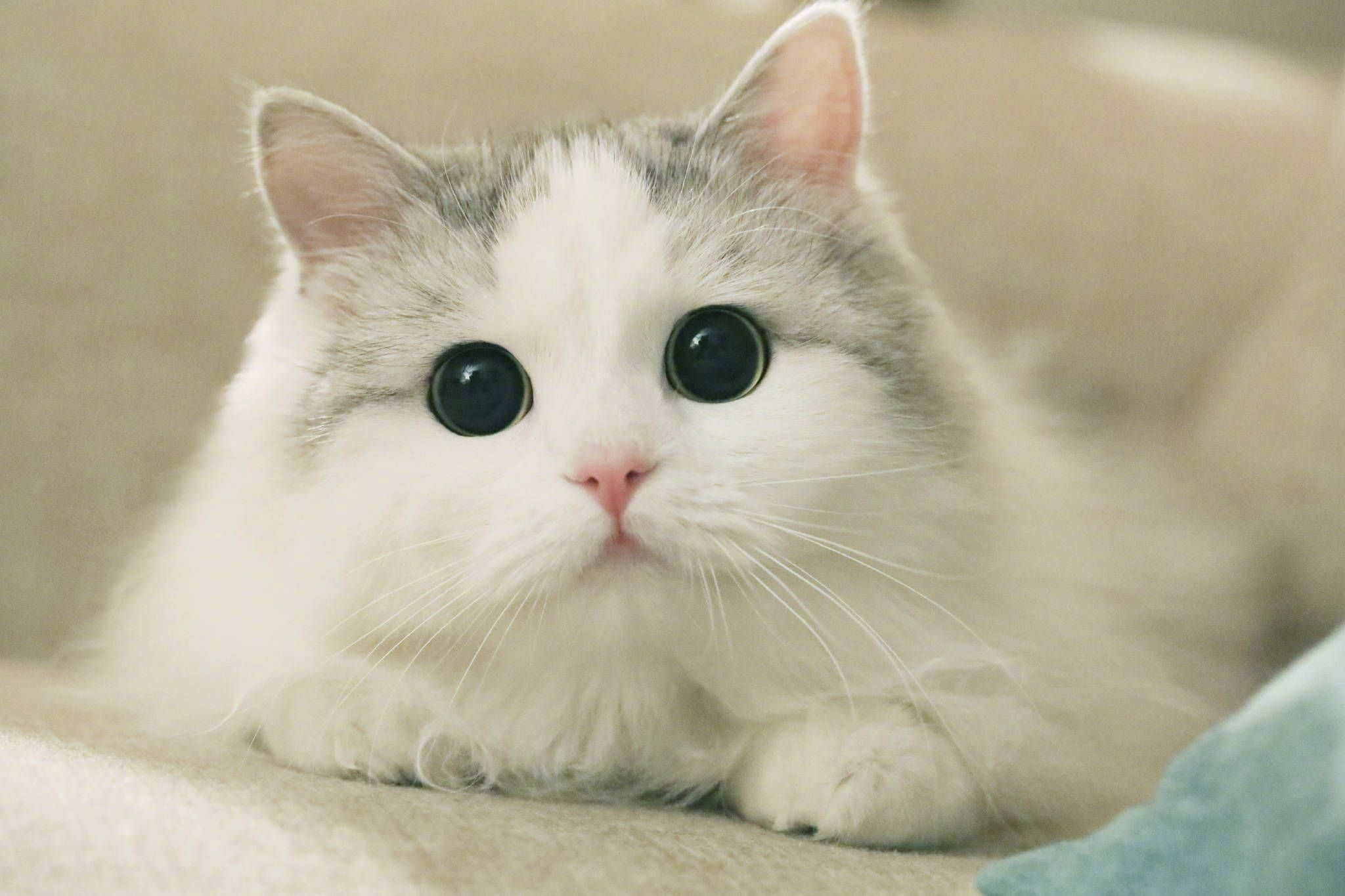 Hzxk64bg8u Meo đẹp động Vật Meo Kitty