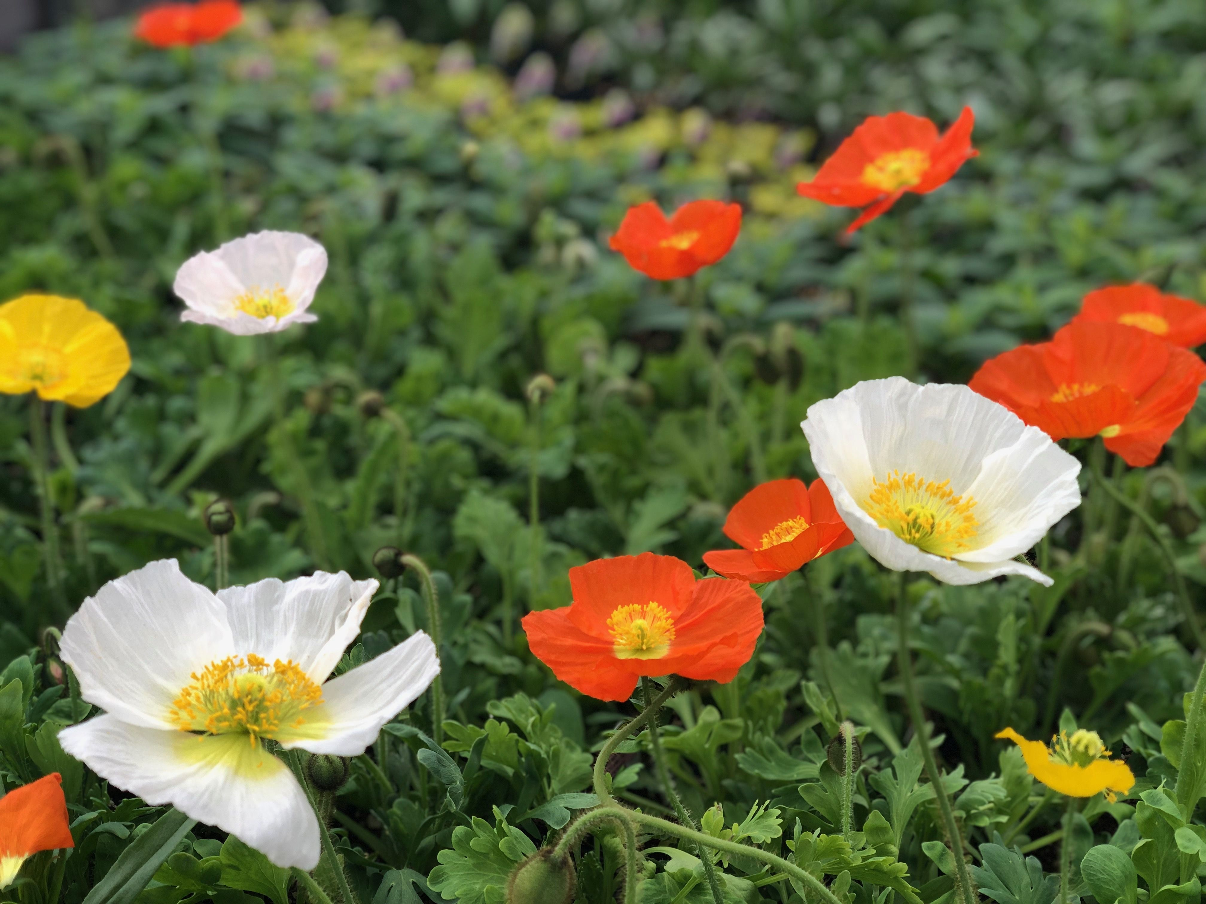how to grow poppies indoors
