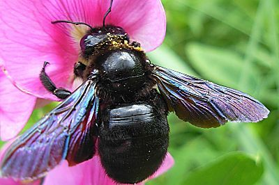 Black Bumble Bee >> Big Black Bumble Bee North Of France Bumble Bees