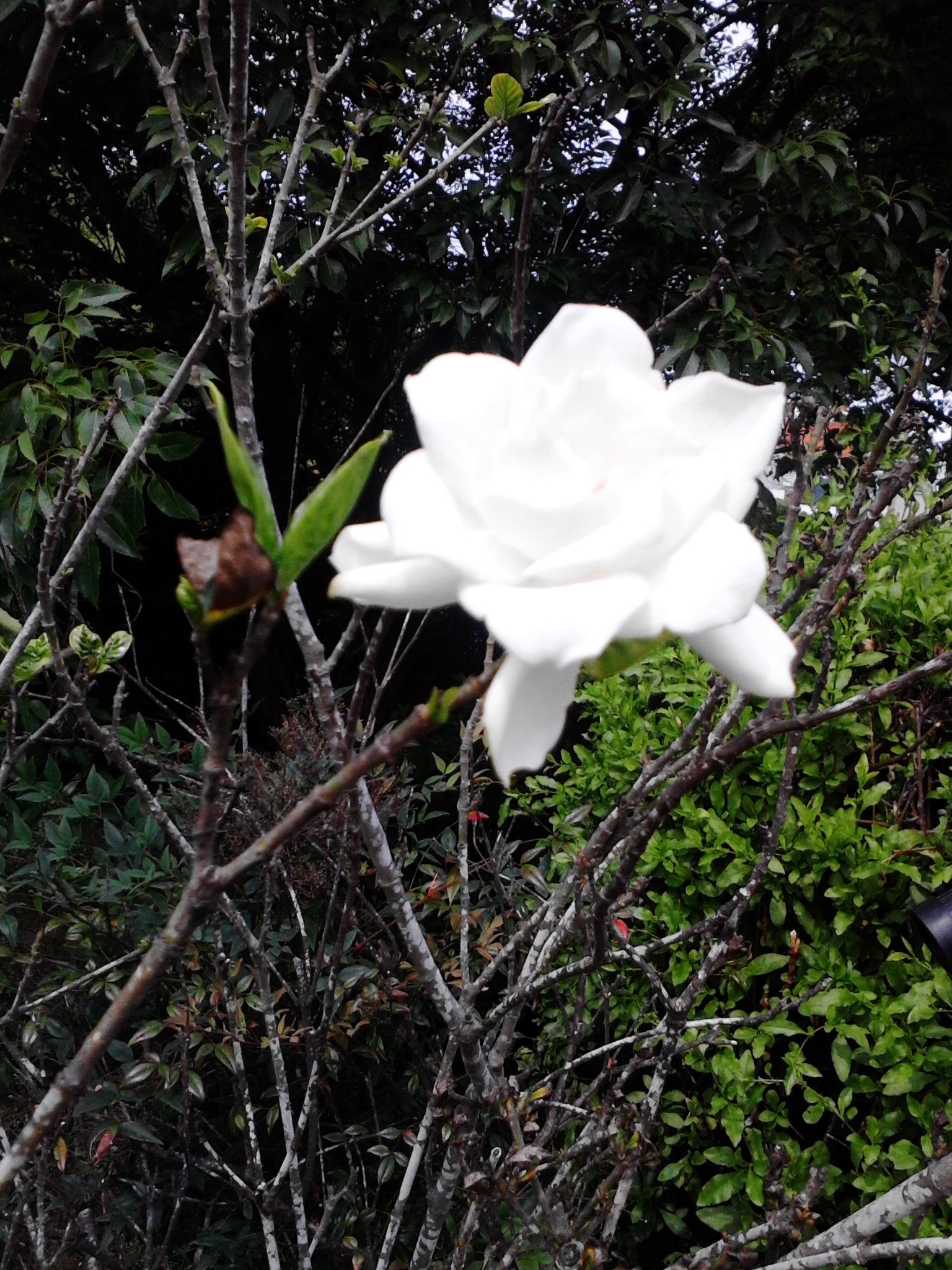 My favourite flower ever now in my garden cape jasmine jazmn del my favourite flower ever now in my garden cape jasmine jazmn del cabo izmirmasajfo