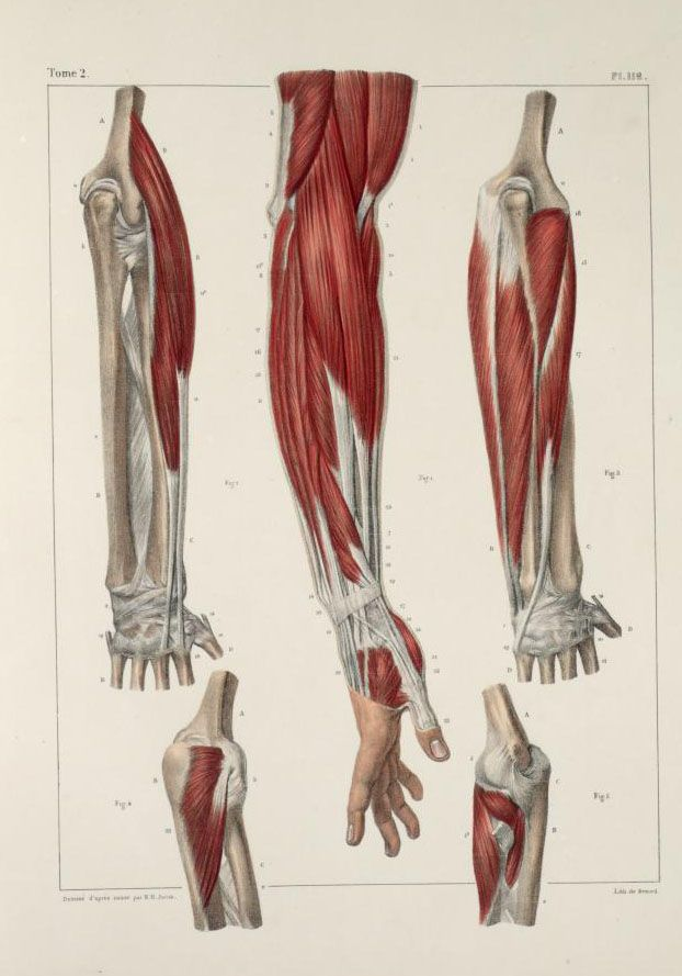Muscles+of+the+arm+and+hand4.jpg (622×889) | illustration. | Pinterest