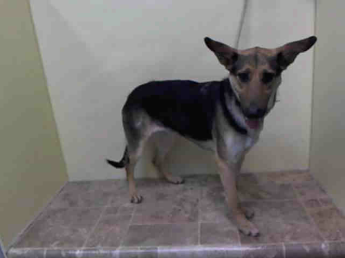 SAFE --- URGENT - Manhattan Center    MIREYA - A0995272    FEMALE, TAN / BLACK, GERM SHEPHERD MIX, 3 yrs  STRAY - STRAY WAIT, NO HOLD  Reason STRAY   Intake condition NONE Intake Date 03/31/2014, From NY 10458, DueOut Date 04/03/2014 https://www.facebook.com/Urgentdeathrowdogs/photos_stream