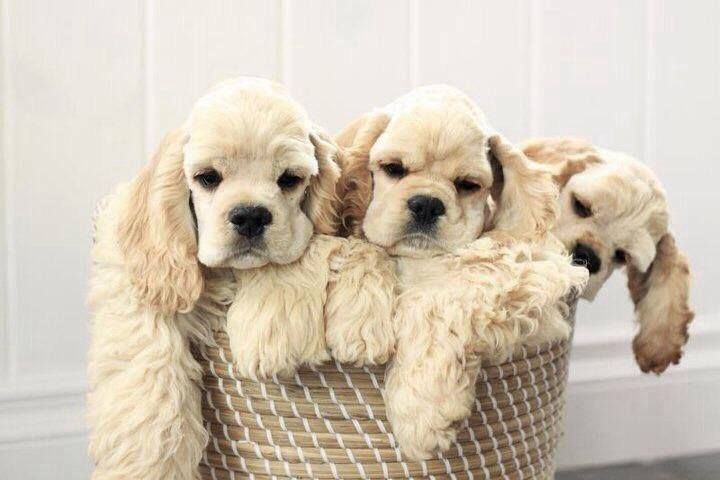A Basketfull Of Cocker Spaniel Love Dogs Cute Animals Beautiful Dogs