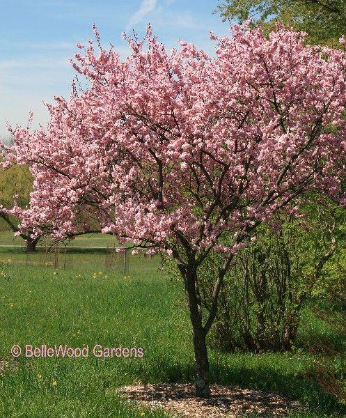Prunus blireiana flowering plum high desert plants for Pink small tree