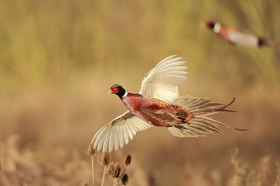 Pheasant In Flight With Images Pheasant Hunting Pheasant