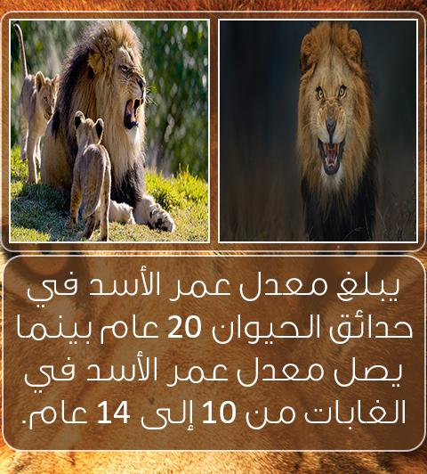 5 معلومات غريبة عن الأسود فتاة اتيوبية حيوان لوبون أسد الثلج Animals Lion