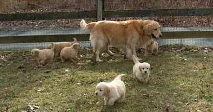 Golden Retrievers Golden Retriever Labrador Retriever Retriever