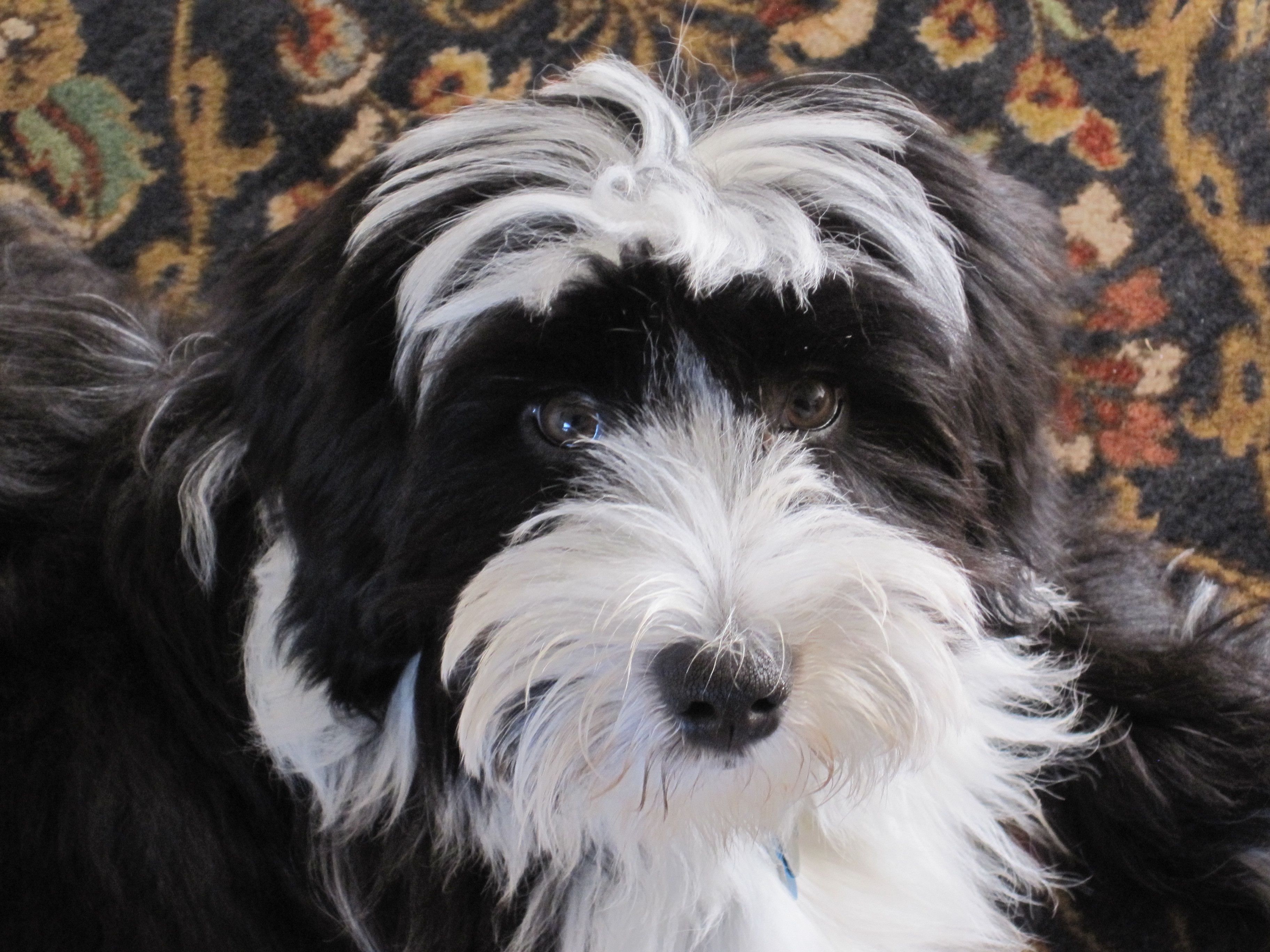 Ollie One Of Our Puppies Who Lives Happily In San Francisco Tibetan Terrier Cute Creatures Dogs