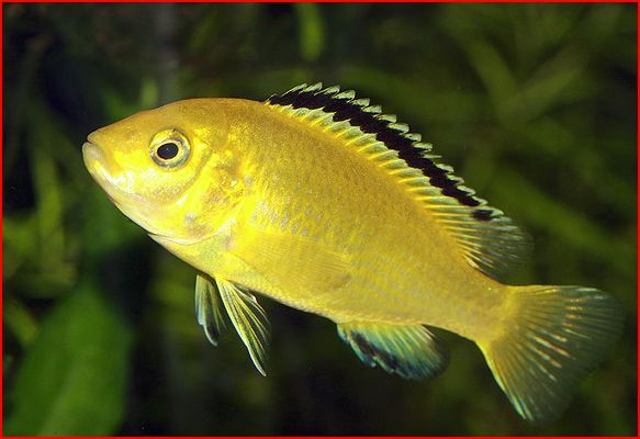 yellow cichlid fish - photo #24