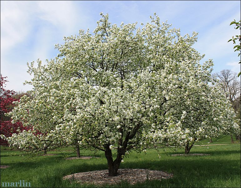Crable Tree Dolgo Is Particularly Resistant To Le Scab And Grown Trees Shrubswhite Flowersin