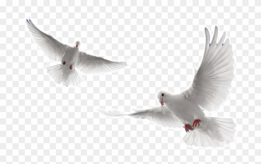 Pin By Mohammed Arshad On Clothing Ideas Holy Spirit Dove White Doves Dove Flying
