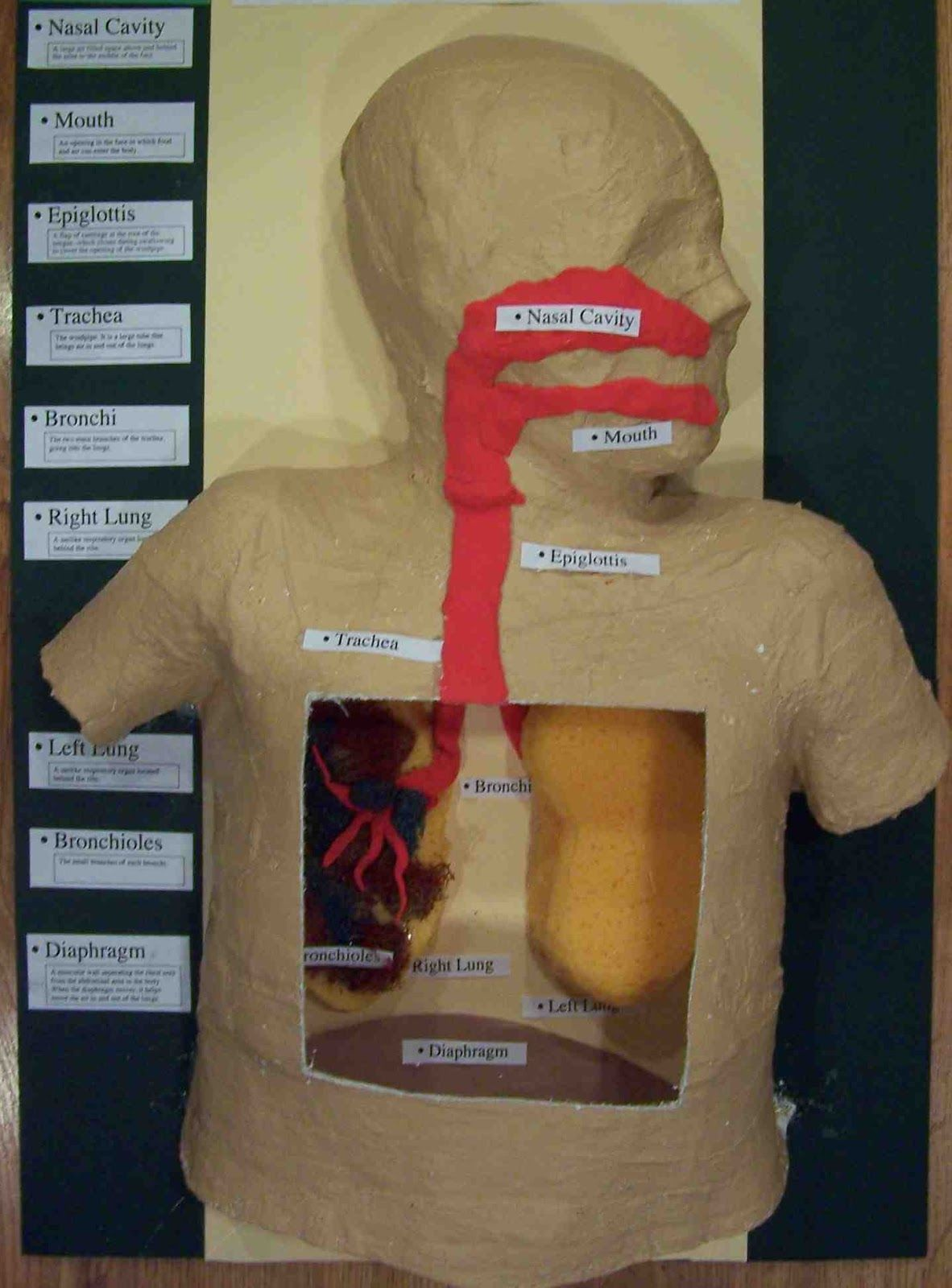 hight resolution of 3d lung model project school science project models science mouth diagram for science fair project