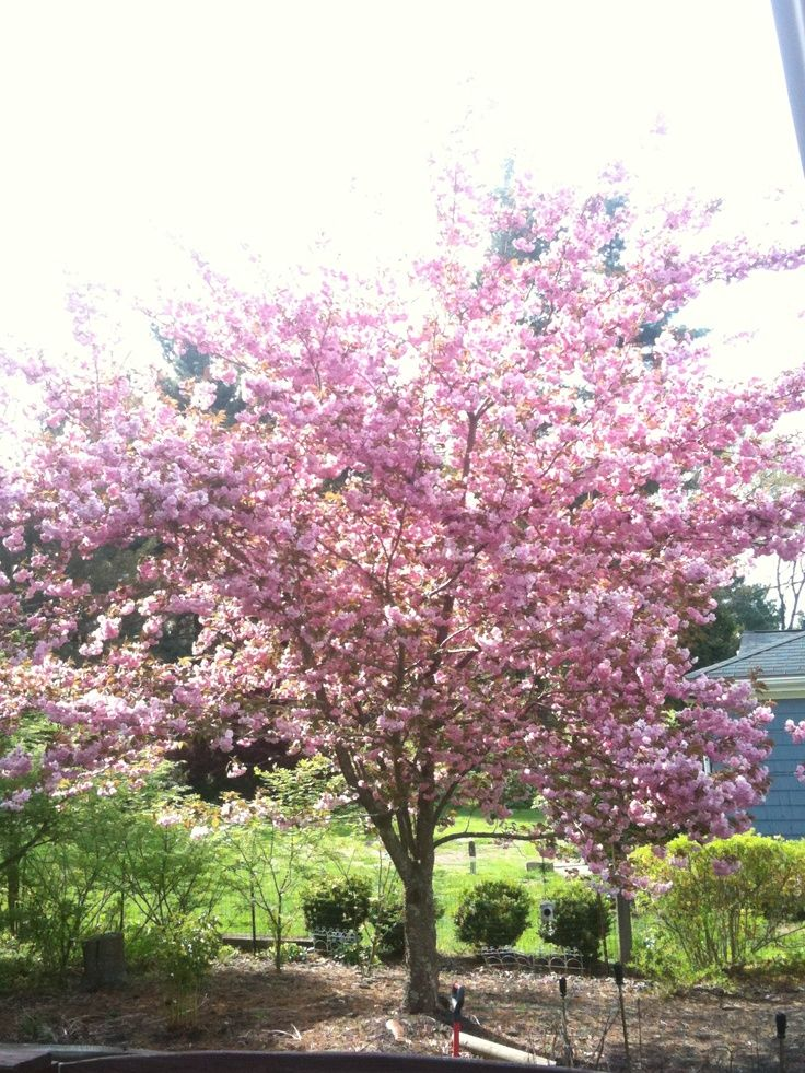 Nice Cherry Tree Care In Front Yard Landscape Designs For Your Home Front Yard Landscaping Design Cherry Tree Tree Care