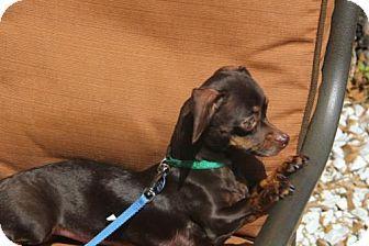 Tampa Fl Dachshund Chihuahua Mix Meet Simone A Dog For