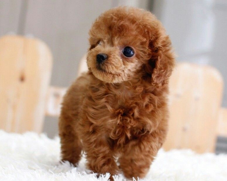 Toy Poodle Adult Puppy Pictures Size Temperament Toy