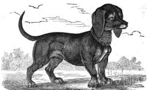 Historical Dachshund Dachshund Dog Breeds Dogs