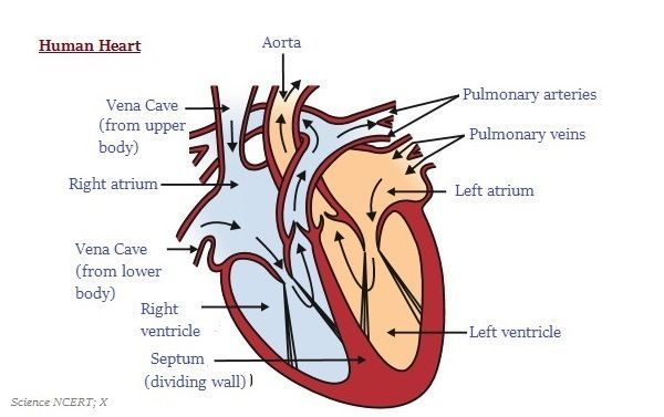 Circulatory System For Kids Stock | Heart diagram, Human ...