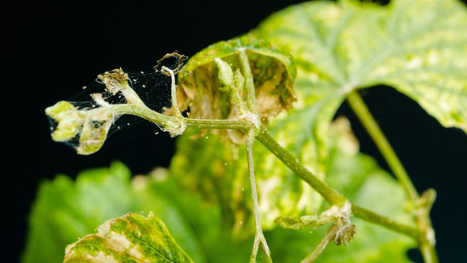 how to get rid of spider mites on indoor weed plants