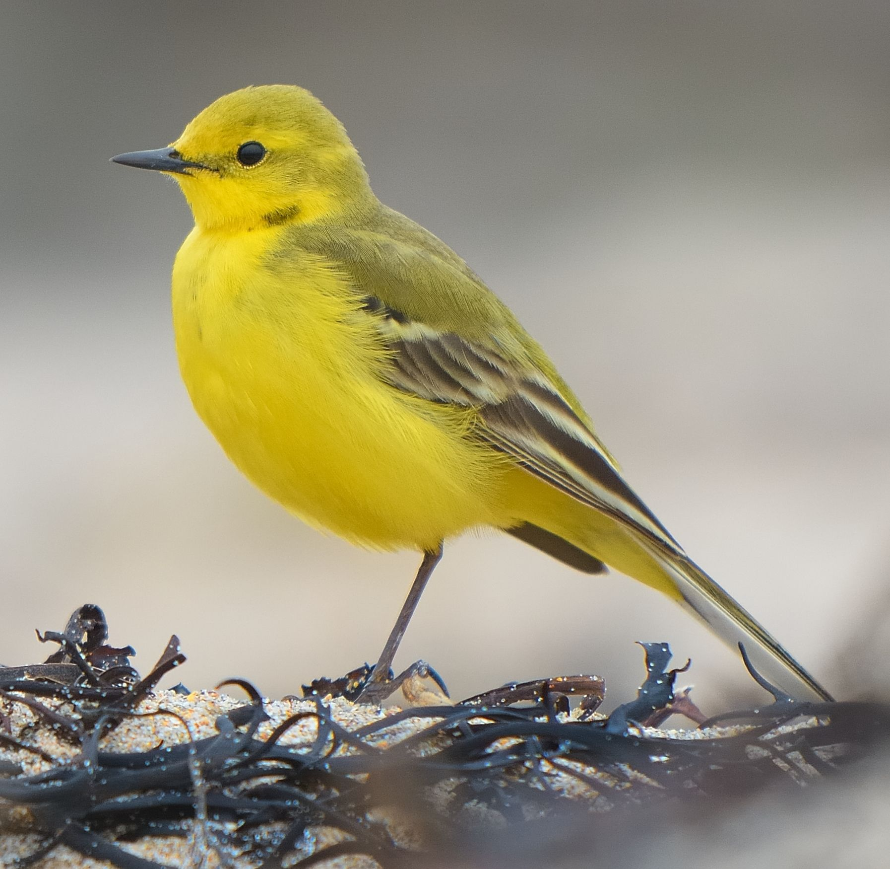 yellow wagtail birds british yellow wagtail birds. Black Bedroom Furniture Sets. Home Design Ideas