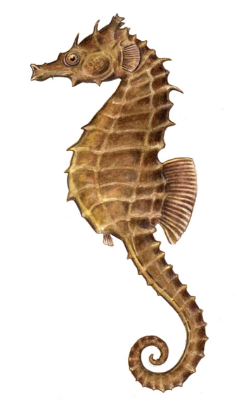Seahorse Google Search Sea Horses Illustration Seahorse Art Seahorse Drawing