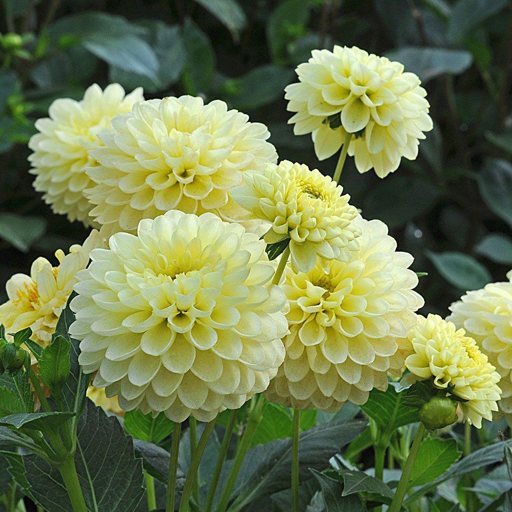 Dahlia Jewel Yellow Dahlia Plants And Flowers