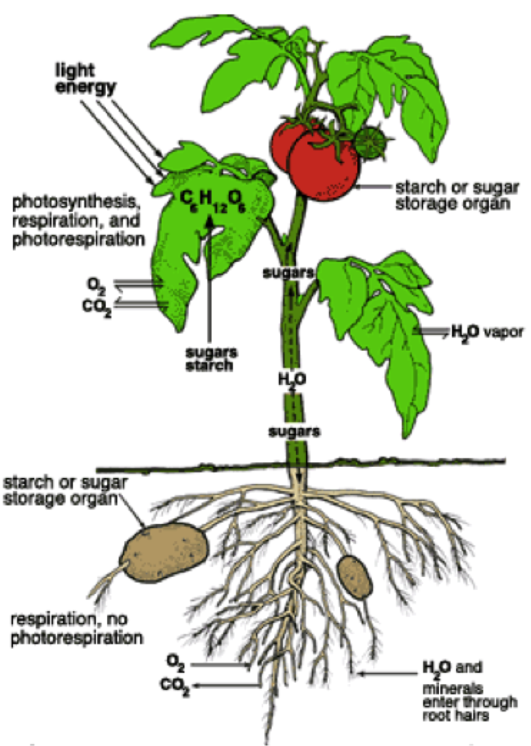 How to grow tomatoes and potatoes on one plant Tomato