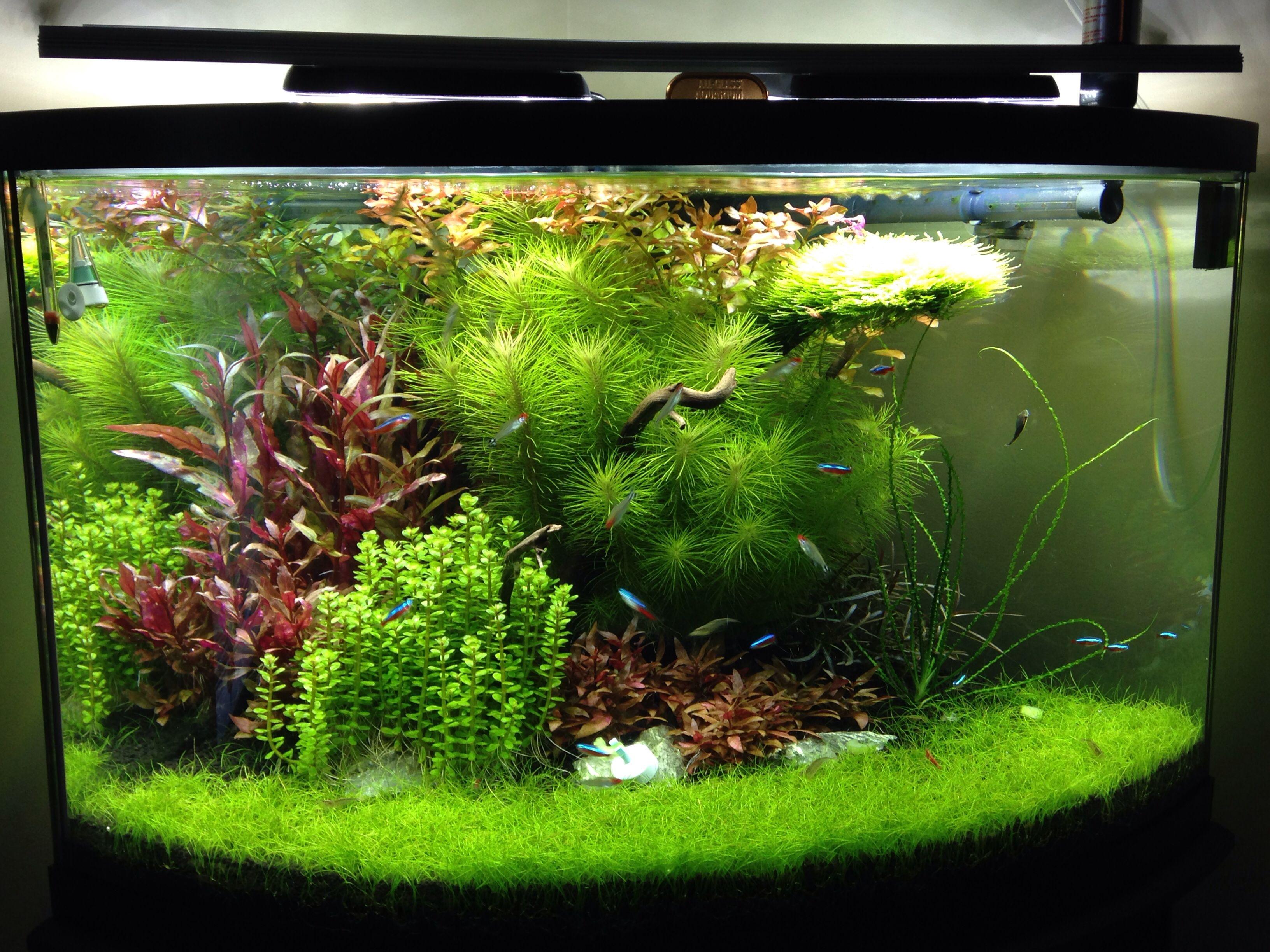Beautiful planted corner tank | Planted aquarium, Betta ...