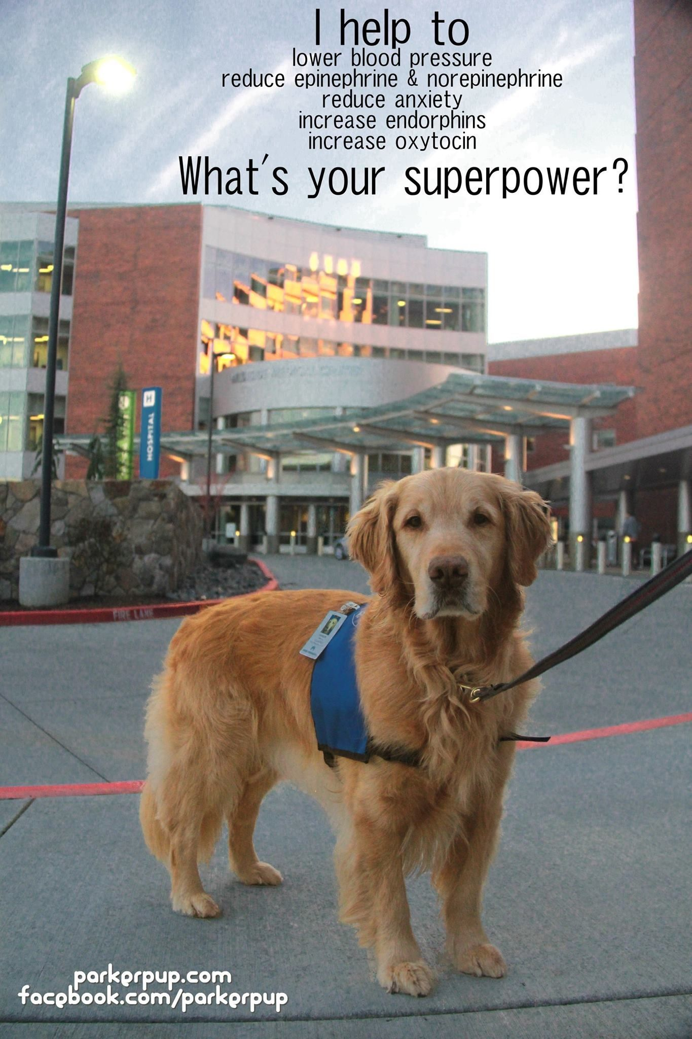 Super Powers Therapy Dog Training Dogs Therapy Animals
