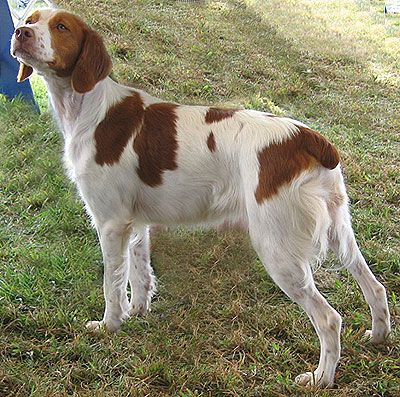 French Brittany Dog Photo Brief Look At A French Brittany Spaniel And An American Brittany Brittany Dog Sporting Dogs Breeds French Brittany Spaniel
