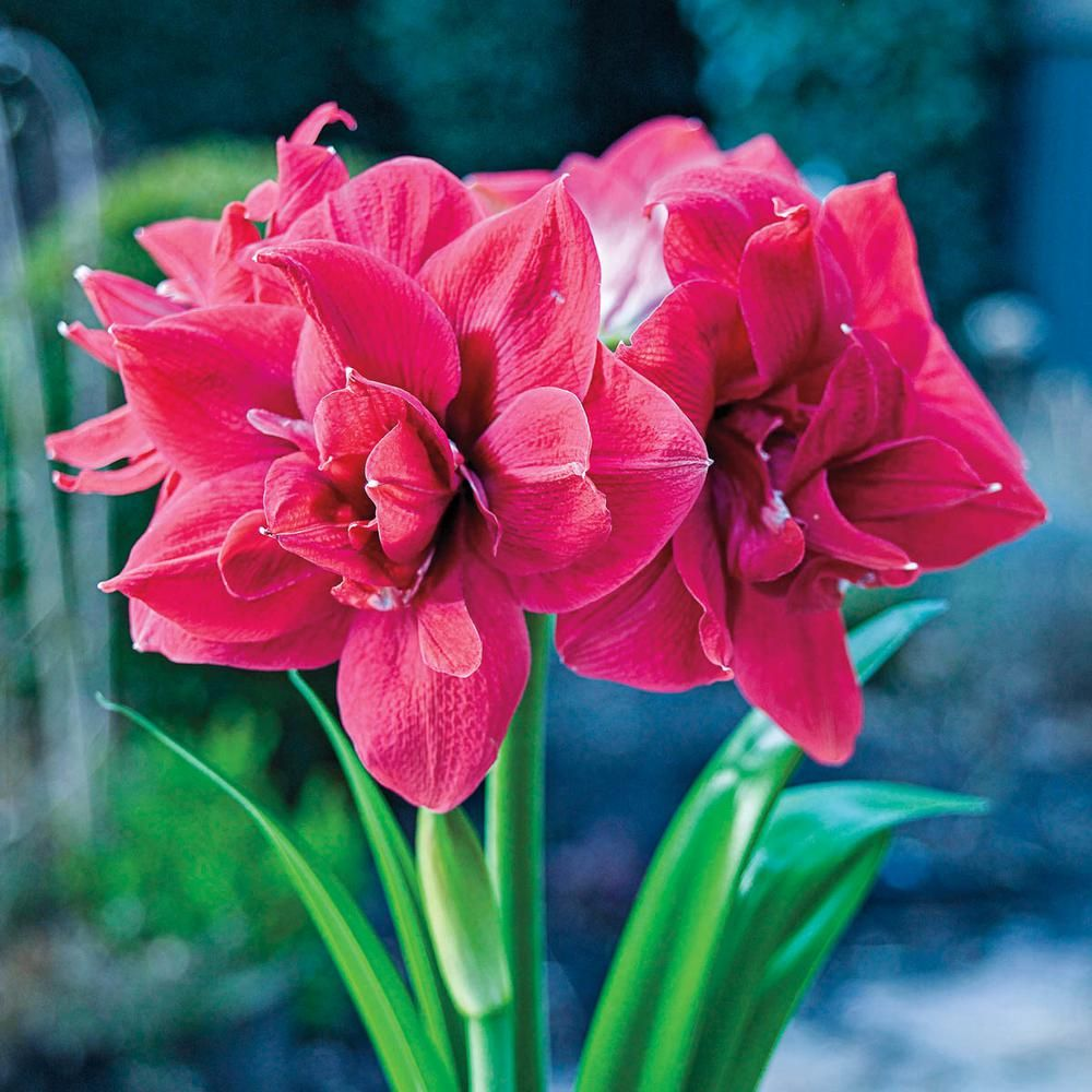 Breck S Sweet Nymph Double Amaryllis Hippeastrum Bulbs 3 Pack 00136 The Home Depot Amaryllis Amaryllis Flowers Container Flowers
