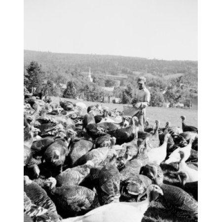 USA Vermont West Burke man feeding flock on turkey farm Canvas Art - (24 x 36)