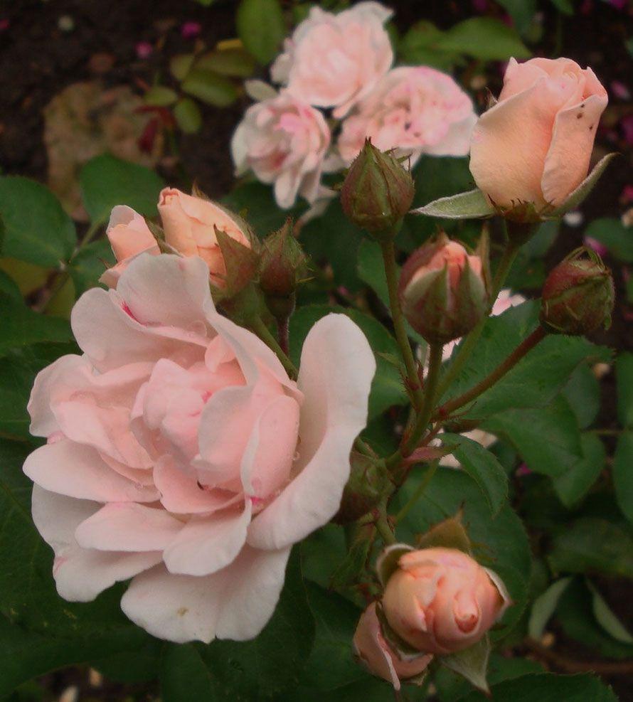 Tipps Und Erfahrungsberichte Rosen Schneiden Im Fruhjahr