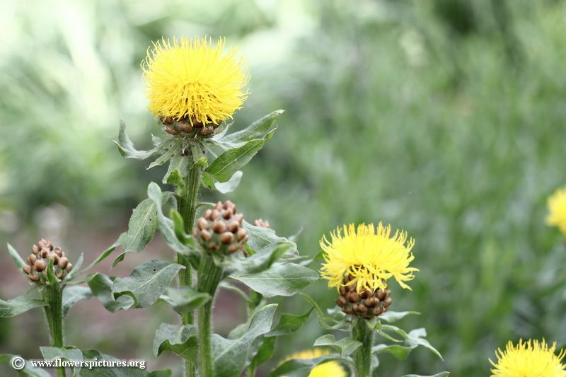 Pin By Amber Fornwald On Plants In The Garden Buy Plants Online Annual Flowers Cool Plants