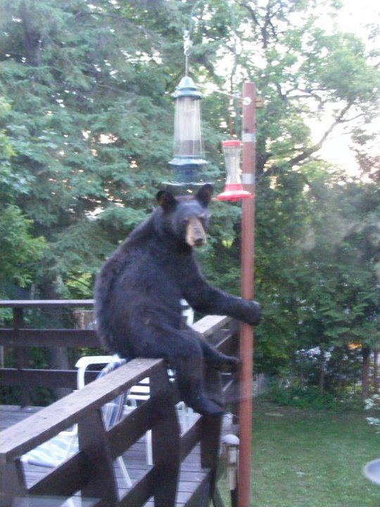 """""""Yeah, what are you looking at?"""". Feeling a little disappointed because he couldn't reach the seeds inside our squirrel proof (and apparently, bear proof) bird feeder? If you have some pictures to share, click on the photo and post them on our Facebook wall!"""