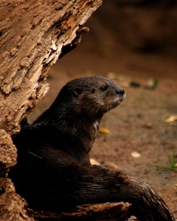 Otter by sisakat.deviantart.com on @deviantART