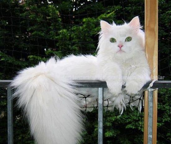 White Cat With Wonderfully Fluffy Tail Gatos Gato Peludo Gato
