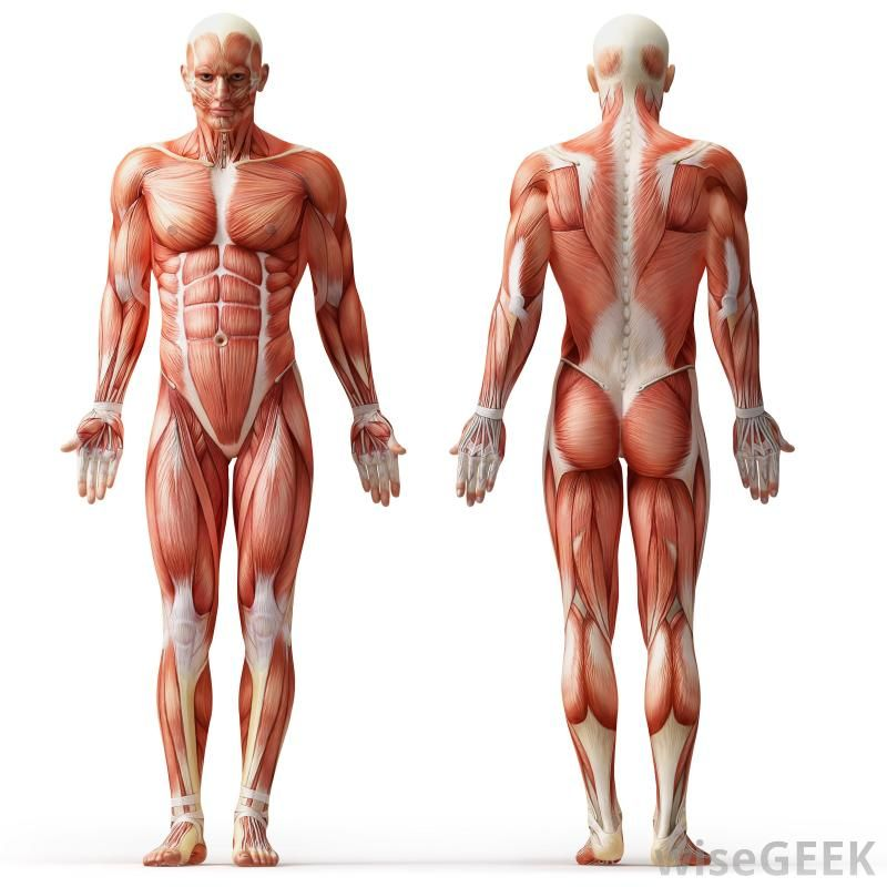 unlabeled diagram of the muscular system | Muscular System ...
