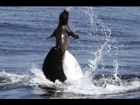 Killer whale eat seal - Wild nature | OTHER SEA CREATURES ...