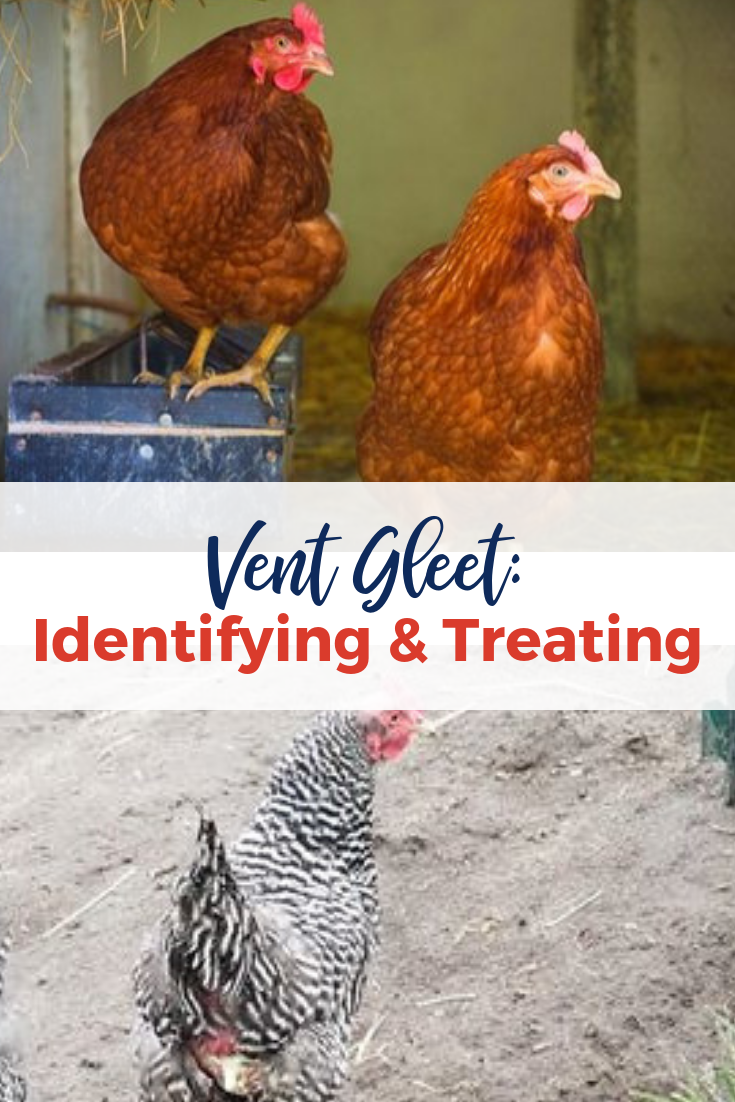 Vent Gleet: Identifying & Treating   Chickens backyard ...