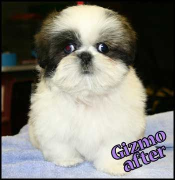 Cute Haircuts For Shih Tzus The Best Haircut Of 2018