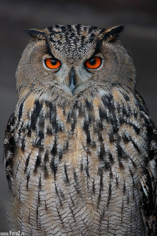 Eagle Owl - Tomasz Kwaśny | My mom's pins > 40 thousand ...