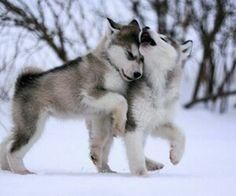 husky winter play date