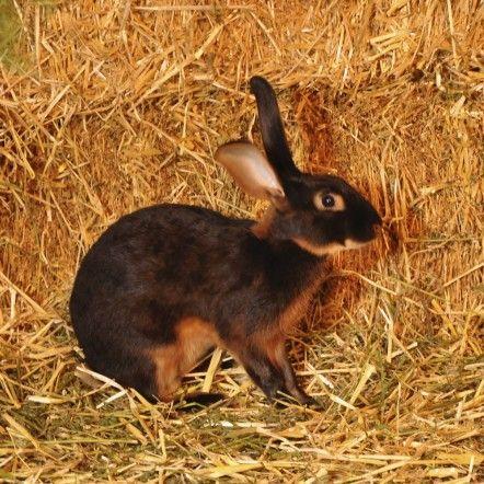 Peter Rabbit nommé chocolat