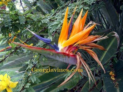 Dwarf Strelitzia Reginae Or Orange Bird Of Paradise Plant That Is Hardy In Zones 9 11 It Will Grow Semi Shade Full Sun And Requires A Moderate