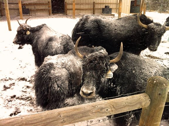 Brrr Our Week Is Off To A Snowy Start At The Ranch Yaks Snow